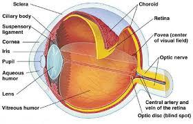 anatomy of the eye worksheet free worksheets library download