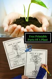 parts of a plant free printable simply kinder