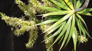 dracaena dracaena marginata propagation and care a proven method youtube