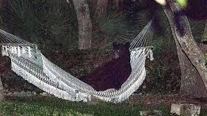 bear lies down for a break in hammock in florida backyard nbc news