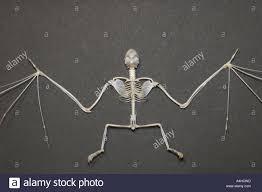 Skeleton Halloween by Vampire Bat Skeleton Halloween Fear Scary Bone Skull Mammal Danger