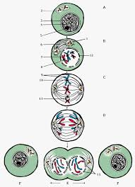 learn about stages of mitosis diagram front yard landscaping ideas