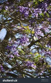 Tree With Purple Flowers Closeup Jacaranda Tree Blooming Purple Flowers Stock Photo 3066849