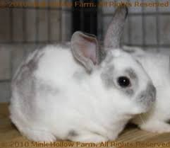 farm rabbits rabbit colours mink hollow farm