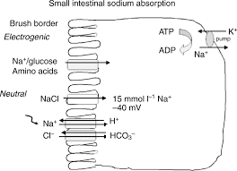 nhe3 regulatory complexes journal of experimental biology