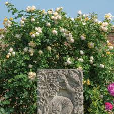 english rose climbing collection 4 roses highly recommended