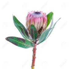 Protea Flower Purple Protea Flower On A White Background Stock Photo Picture
