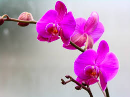 pink orchids pink orchids by ken griffith digital photographer