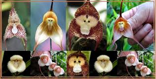 monkey orchid amazing monkey orchid