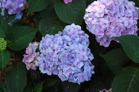 purple hydrangea hydrangeas how to change color from pink to blue gardenista