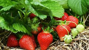 how to growing strawberry in the garden gardening tips youtube