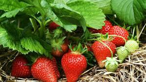 gardening tips how to growing strawberry in the garden gardening tips youtube