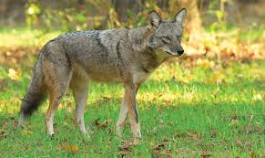 Can Coyotes See Red Light Coyotes Alabama Living Magazine