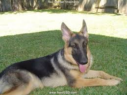 belgian sheepdog houston tx tour of dogs neo german shepherds