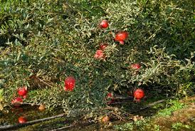 pomegranate tree a kitchen garden in kihei growing