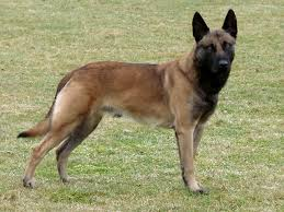 belgian sheepdog crossword quiz can you name these dog breeds