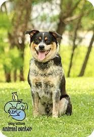 australian shepherd knoxville tn 4 2017 knoxville tn havanese lhasa apso mix meet benny a dog