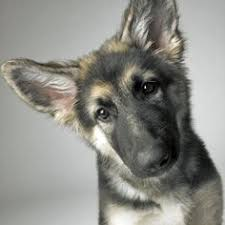 belgian shepherd headbutt shiloh shepherd puppy dogs pinterest beautiful we and puppys