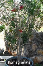 sweet viburnum 200mm pot viburnum 93 best garden deciduous images on pinterest landscaping
