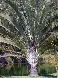 palms 5 dypsis decaryi neodypsis decaryi triangle palm three