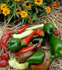 Types Of Vegetables To Grow In A Garden - growing peppers bonnie plants