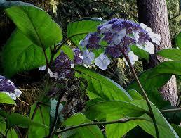 Purple Hydrangea Dark Purple Hydrangeas