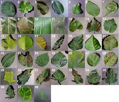 pattern recognition and machine learning epfl frontiers using deep learning for image based plant disease