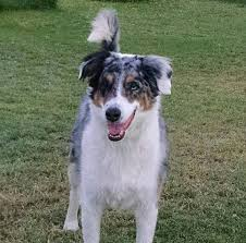 australian shepherd hound mix available dogs amazing aussies lethal white rescue of arizona