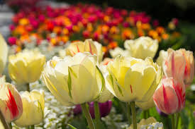 thanksgiving point farm hours archived tulip festival u2013 2017 lehi united states world love