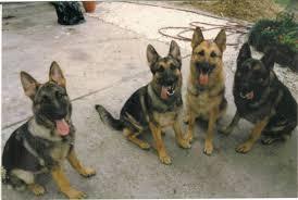 Light Sable German Shepherd Gsd Color Genetics Sable Pup After Both Black U0026 Tan Parents Page 1