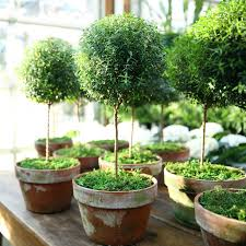 Topiary Frames Online Myrtle Topiary Large Topiary Plants And Gardens