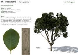 xfrogplants weeping fig xfrog