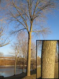 ls that look like trees winter tree identification part i deciduous trees new york state