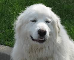 great pyrenees rescue provides wonderful dogs to good homes great pyr rescue goliath