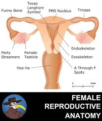 Anatomy Of Reproductive System Female Anatomy Of The Female Reproductive System Gomerpedia