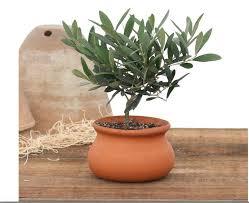 Topiaries Plants - 2 lb washpot olive tree topiary w pot fresh topiary plants