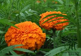 seeds flower seed picture more detailed picture about use as