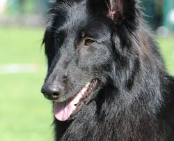 belgian sheepdog nationals gch isengard u0027s z lucy wagalicious u2013 lucy u2013 blackforest belgian