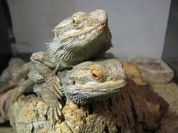 lizard backyard zoologist