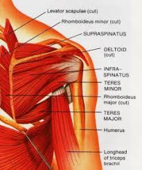Shoulder And Arm Muscles Anatomy Rotator Cuff Stretches And Exercises For Rotator Cuff Injury
