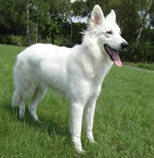 belgian shepherd nz white shepherd wikipedia