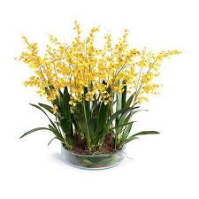 oncidium orchid oncidium orchid leaf it new growth designs