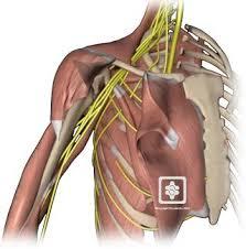 Nerves In The Knee Anatomy Nerves Of The Shoulder Shoulderdoc