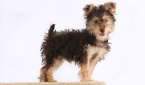 affenpinscher vs brussels griffon yorkipoo dog breed information