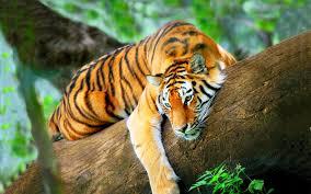 cats predator nature cat jungle tiger cats