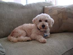 bichon frise intelligence best dogs for apartments top 20 canine specimens that fit in