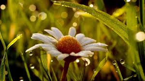 yellow daisy wallpapers 1080p wet daisy wallpapers super backgrounds 1080p wet daisy hd