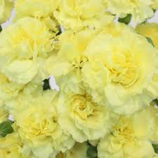carnations in bulk butter yellow mini carnation flowers
