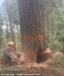 shows moment logger runs for his as tree starts