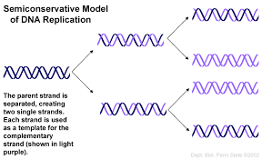 what does semiconservative mean in the context of dna socratic